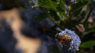 Honey Bee, apis mellifera, Adult in Flight, Flying to Flower with Pollen Stock Footage