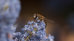 Drone Fly, eristalis sp., Adut in Flight, Flower in Normandy, Slow motion Stock Footage