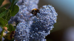 Bumblebee, bombus sp., Adult in Flight, Flying to Flower, Normandy, Slow motion Stock Footage