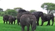 African elephants herd Stock Footage