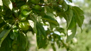 Unripe green apples hanging on an apple tree Stock Footage