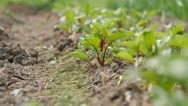 Young beetroots growing in ecologic garden Stock Footage