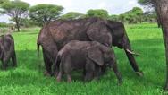 Baby elephant eating Stock Footage