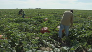 Workers cut stems of pumpkins from the vine in a Texas field, 4K Stock Footage