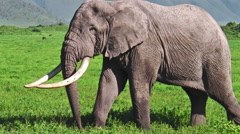 Long tusks Elephant Stock Footage