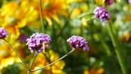 Bee collecting pollen on purple flower with 4k resolution Stock Footage