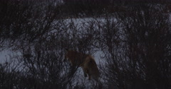 Red fox at dusk hunts in snowy willows back and forth Stock Footage