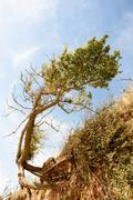 Single Windblown tree in a distorted twisted shape. The cause is eroded seasi Stock Photos