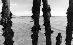 Wooden exposed sea defence posts covered in seaweed and sea vegetation in bla Kuvituskuvat
