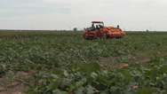Pumpkins are hauled from the field on a tractor drawn trailer. Stock Footage