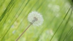 Green surounding  of blowball in the field slow-mo 1920X1080 HD footage - Bea Stock Footage