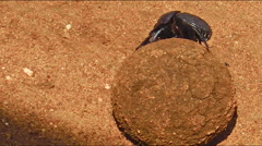 Ball of Dung beetles Stock Footage