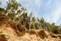 Row of trees exposed to seaside cliff face erosion with crumbling earth and d Stock Photos