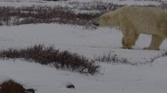 Slow motion - skinny male polar bear walk through dark tundra Stock Footage