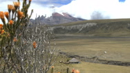 Wild Brush in front of Cotopaxi Stock Footage
