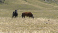 Wild Horses at a Distance Stock Footage