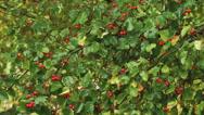 Hawthorn berries in the garden Stock Footage