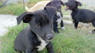 Black puppy sitting on the grass while his brothers playing behind him Stock Footage