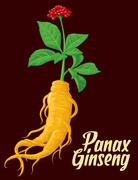 Root and leaves panax ginseng. Vector colorful flat  illustration of medicina Stock Illustration