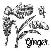 Ginger. Root, root cutting, leaves, flower buds, stems. Vintage retro vector  Stock Illustration