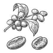 Coffee bean, branch with leaf and berry. Hand drawn vector vintage engraving  Stock Illustration