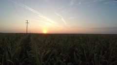 Slow fly over corn field in the sunset in the low altitude Stock Footage