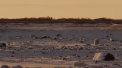 Polar bear walks away across snowy tundra in sunset light Stock Footage