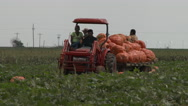 Pumpkins hauled from the field. Stock Footage