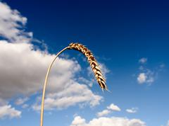 Single ear of a corn stalk set against a summertime sky with a large cloud. Stock Photos