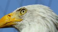 Bald eagle close-up Stock Footage