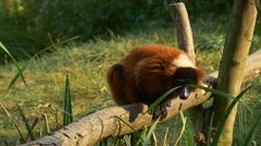 A Small Red Furred Lemur Sits on a Wooden Stick Stock Footage