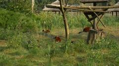 Group Lemurs Eat Most Luscious Grass Under Feet Stock Footage