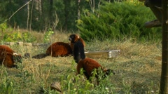 Four Red Lemurs Running Around on the Ground Stock Footage