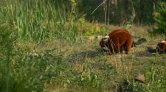 Three Red Lemurs Sit on a Green Grass Stock Footage
