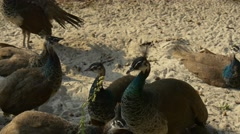 Small Group of Young Peacocks is in a Central Zoo Stock Footage
