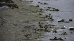 Sandpipers on Canadian Beach Stock Footage