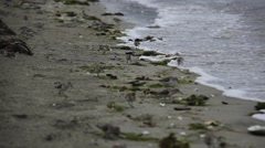 Sandpipers on Vancouver Island Stock Footage