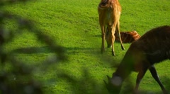 Gazelles is Grazed on Green Lawn Near to a Aviary Stock Footage