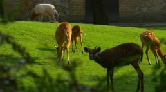 Gazelles Are Hiding in Shade of a Leafy Tree Stock Footage