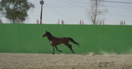 Horse galloping in front of a green screen in slow motion Stock Footage