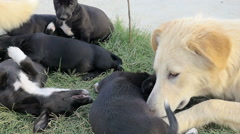 Dog Mom cuddle her cubs on the grass Stock Footage
