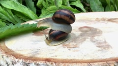 Snail sitting on the back of another snail Stock Footage