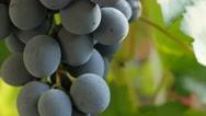 Woody vines   grape fruit cluster Vitaceae family tilting 4K 2160p 30fps Ultr Stock Footage