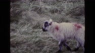1969: a sheep is seen ENGLAND Stock Footage