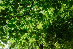 Sunlight shines though the green leaves of a large tree in a summer forest Kuvituskuvat
