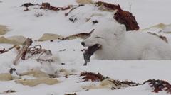 Arctic fox in winter coat chews frantically on goose foot near bones Stock Footage