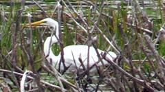 Snowy Egret feeding Stock Footage
