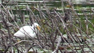 Snowy Egret feeding Stock Footage