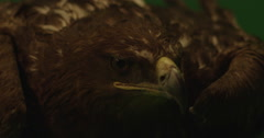 Brown eagle close up on green screen with a slight breeze on slow motion Stock Footage