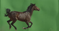 Horse galloping in front of a green screen in slow motion with a camera pan Stock Footage